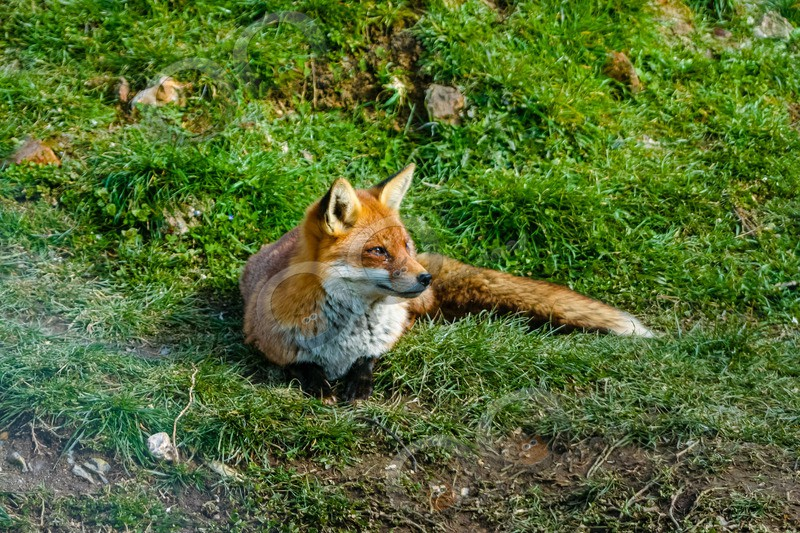 fox vulpes vulpes-039 - UK Wildlife