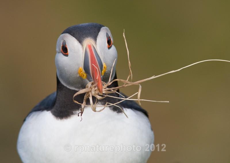 Puffin - Fratercula arctica RPNP0053 - Birds
