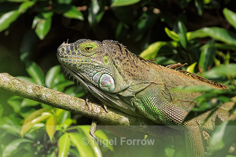 Green Iguana resting on branch, Costa Rica - REPTILES & AMPHIBIANS