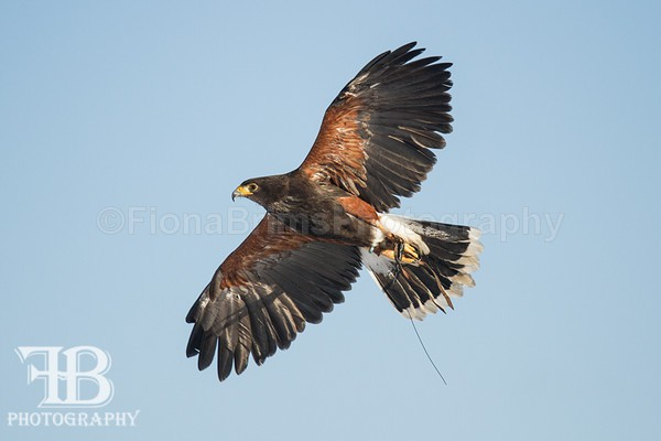 birds-79 - Birds of Prey