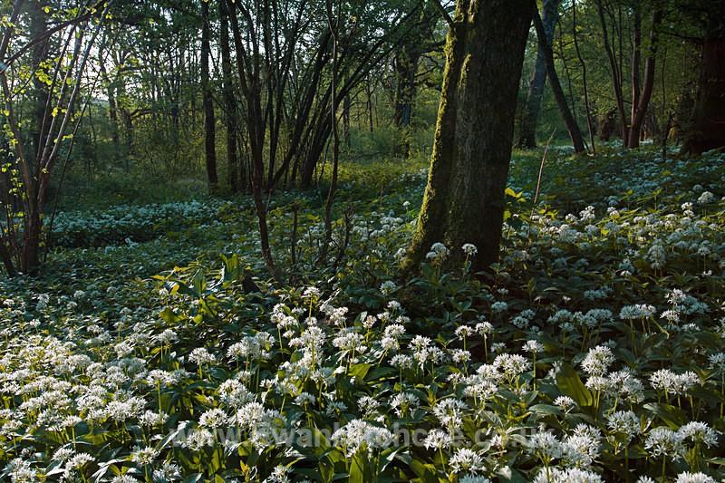Wild Garlic - English Woodland - Landscapes
