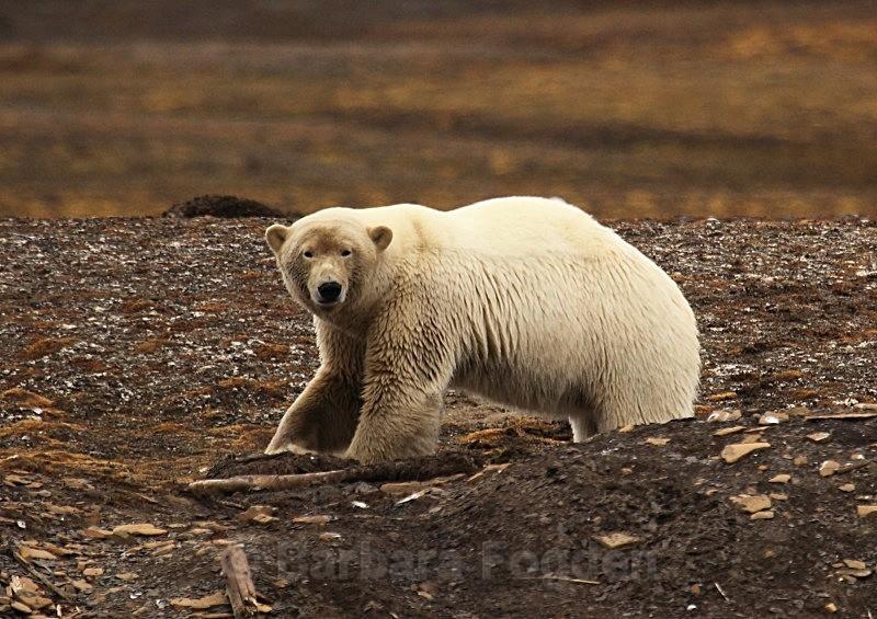 Polar Bear 9709 - Wildlife