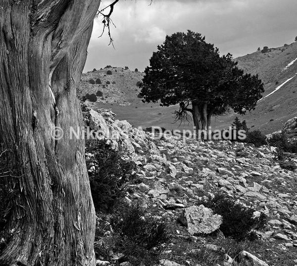 Κέδρος Ι Cedar Tree - Δέντρα Ι Trees