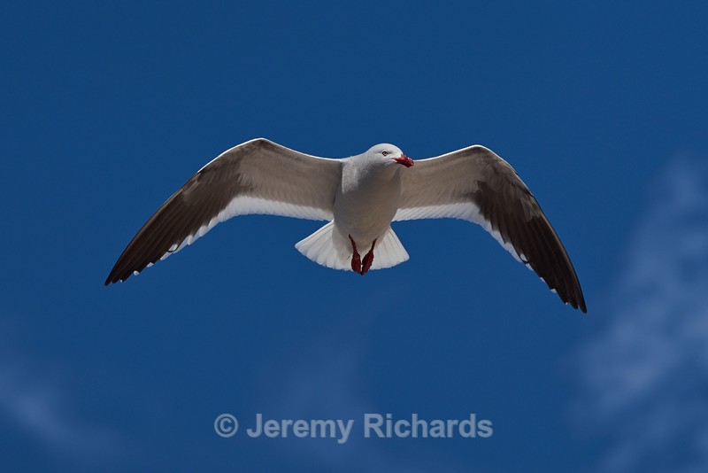 Dolphin Gull in Flight - Carcass Island