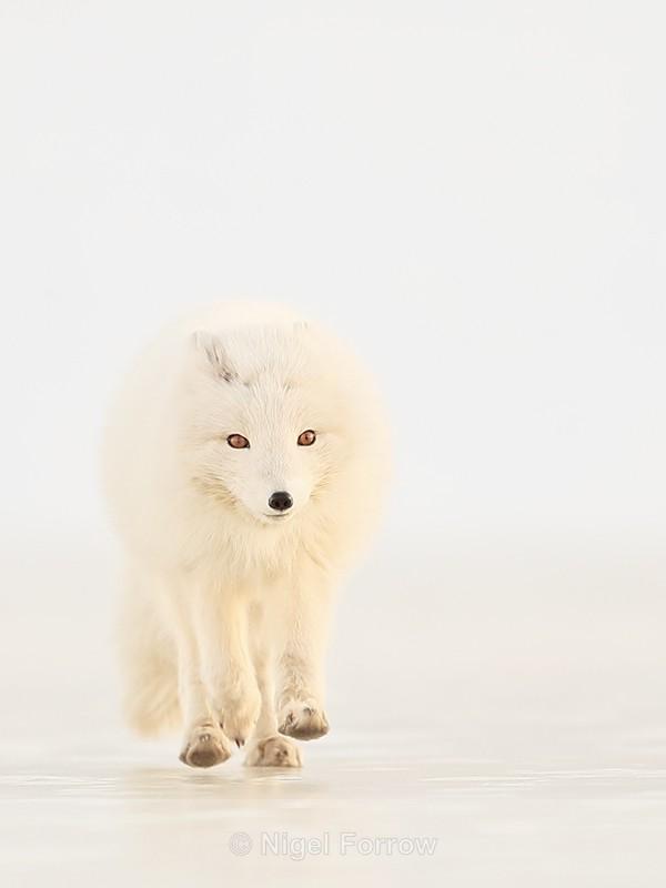 Arctic Fox running head-on, Svalbard, Norway - Arctic Fox