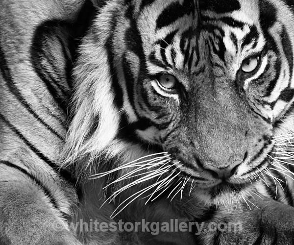 Indochina Tiger - Wildlife and Animals