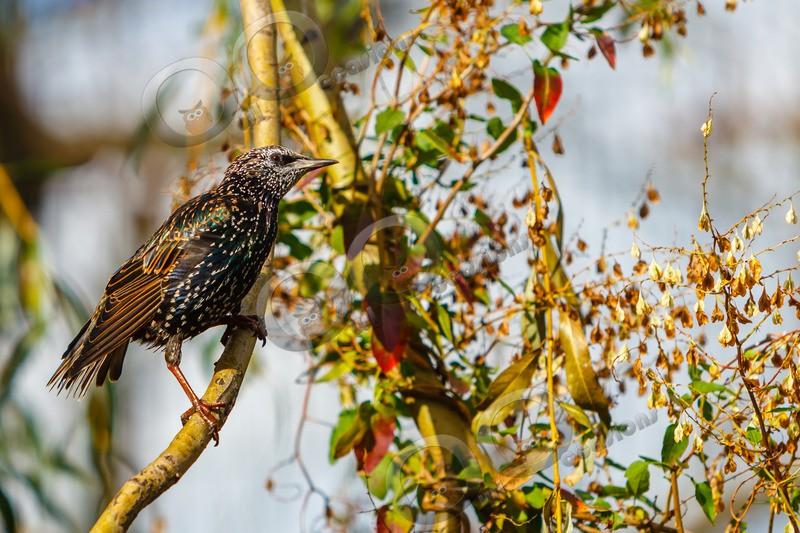 Starling Sturnus vulgaris-4706 - UK birds