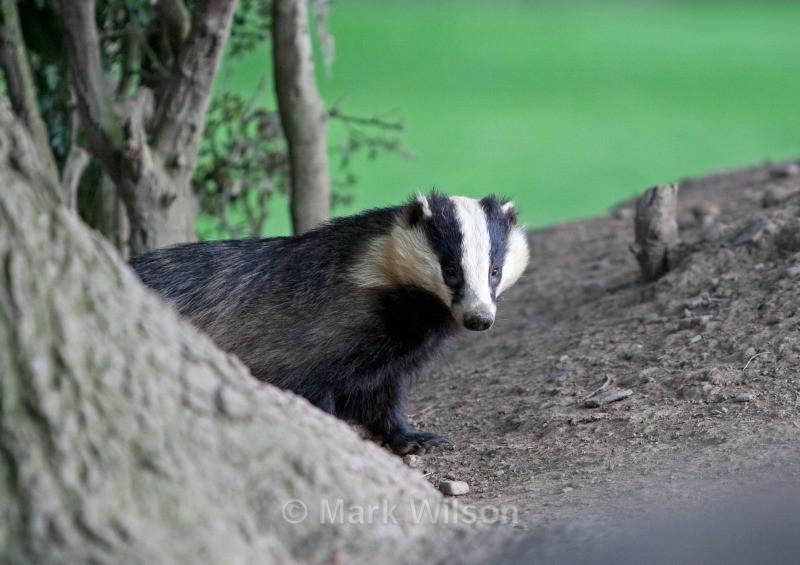 - Badgers