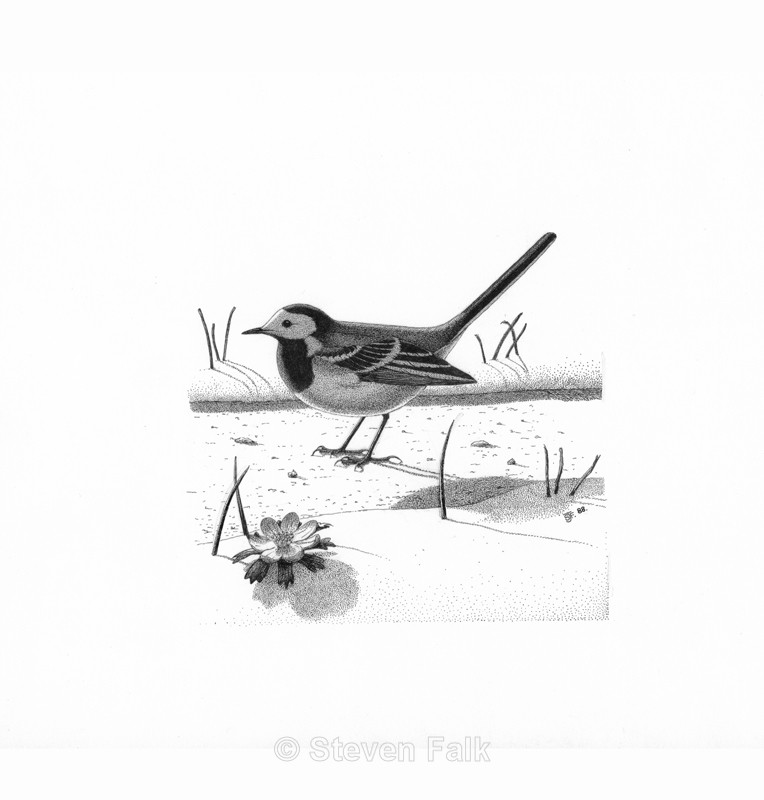 Pied Wagtail - Birds and Mammals