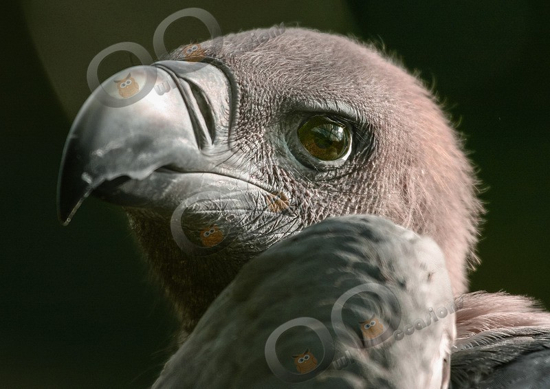 Indian vulture Gyps indicus- - BoP from around the world