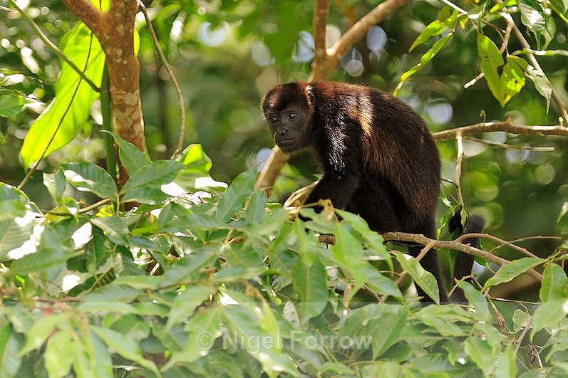 Mantled Howler Monkey sat in a tree at Caño Negro - Monkey