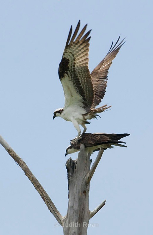 Osprey pair - Birds