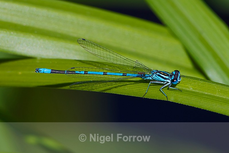 Azure Damselfly (male) on Brownsea Island - INSECTS