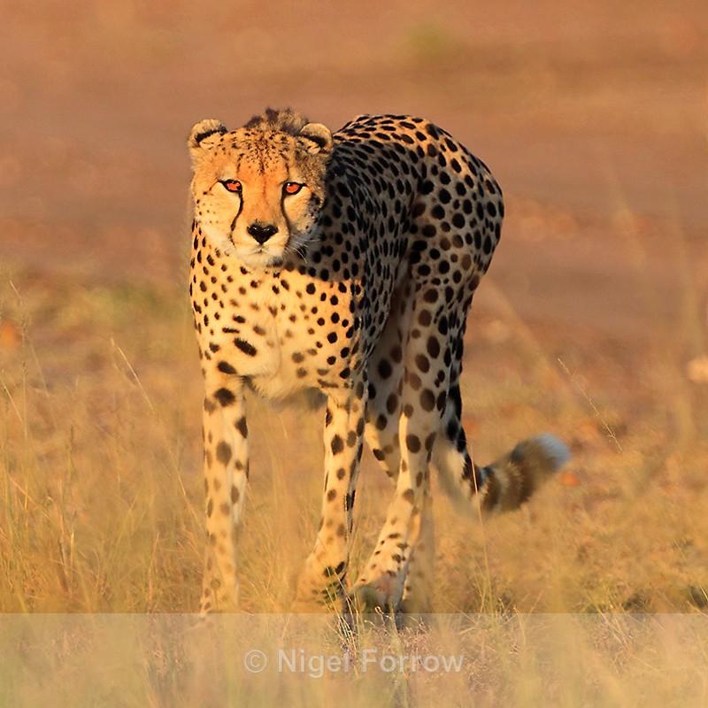 Cheetah in golden early morning light - Cheetah