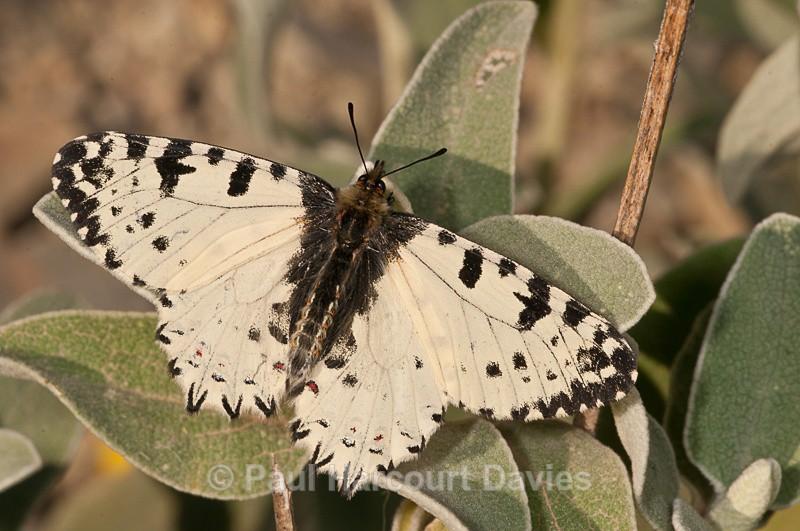 Cretan Festoon (Allancastria cretica) - Bugs: Butterflies