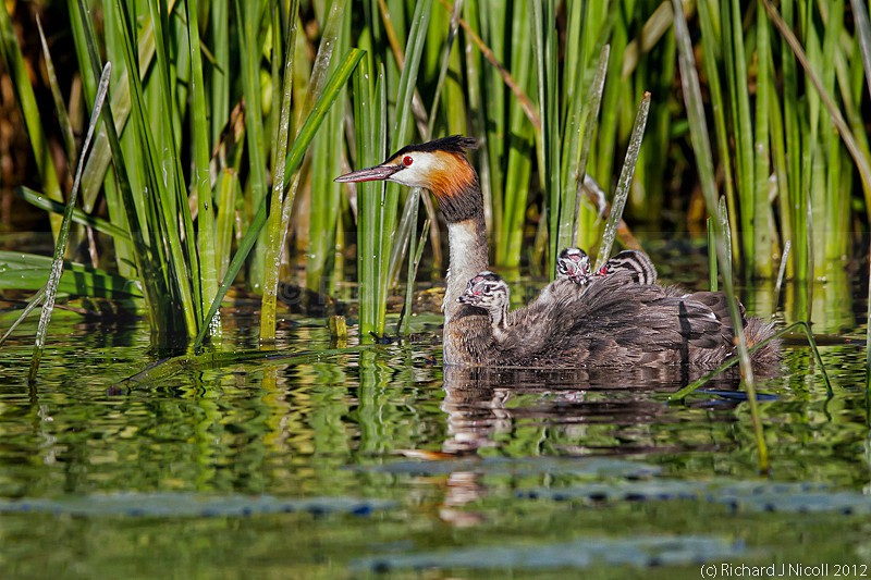 Great Crested Grebe (Podiceps cristatus) juveniles riding on bac - ARPS Panel