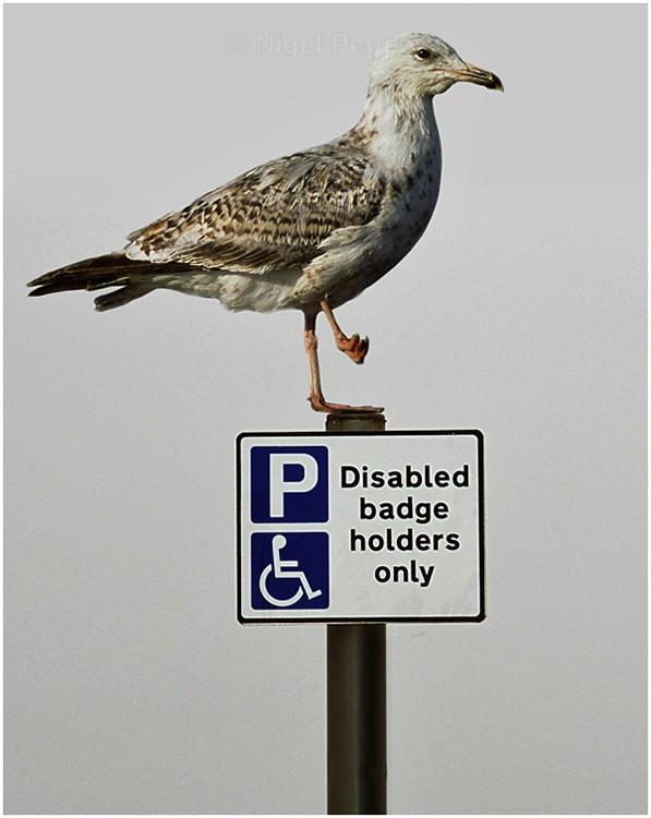 Reserved Parking - Leggy the Herring Gull