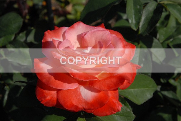 Columbian Rose  DSC-0202 - The Flower Shop