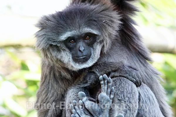 Javan Gibbon 2 - Primates