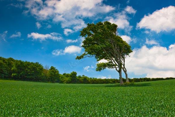 Windswept Tree - Landscape