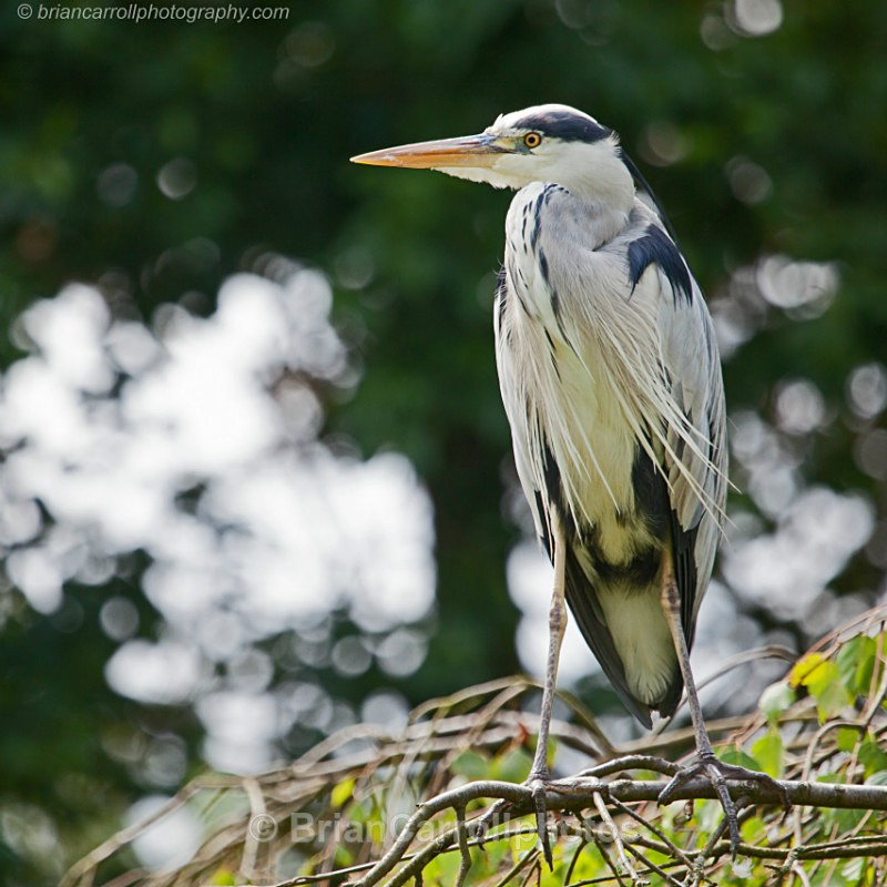 Grey Heron - Wildlife