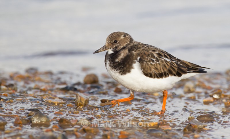 Turnstone - Seabirds