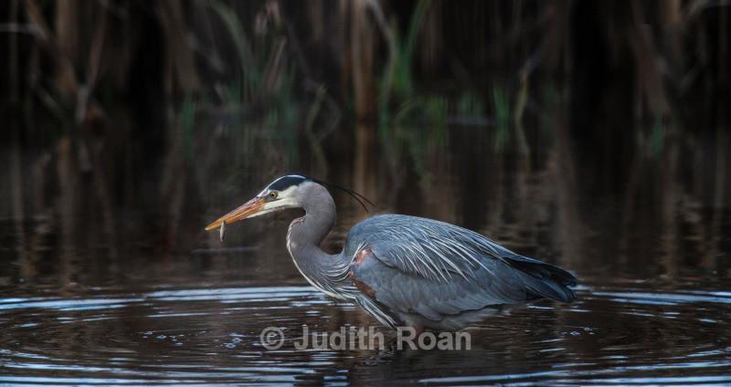 Great Blue Heron fishing - Backyard Birds of the Pacific Northwest