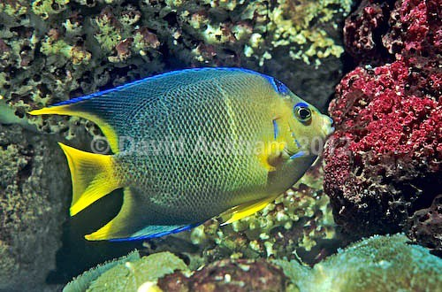Blue Angel fish - Pets