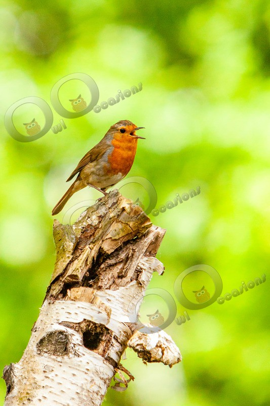 Robin Erithacus rubecula8684 - UK birds