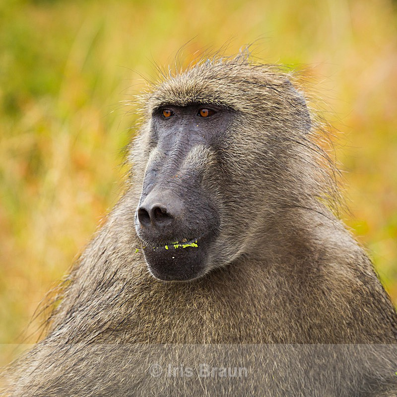 Big Head - Baboon