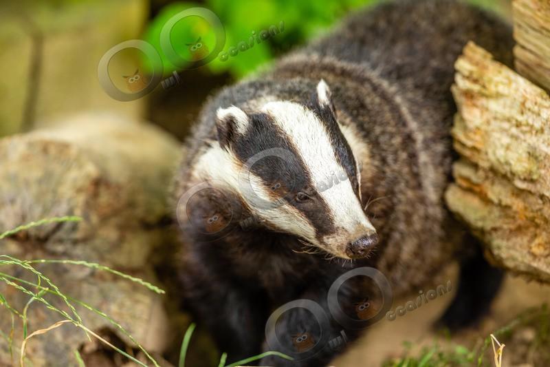 badger Meles meles-8202 - UK Wildlife