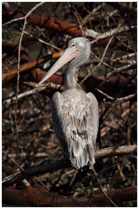 Spot Billed Pelican - Kenyan Safari 2013