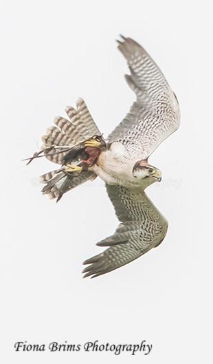 ICBP-29 - Birds of Prey