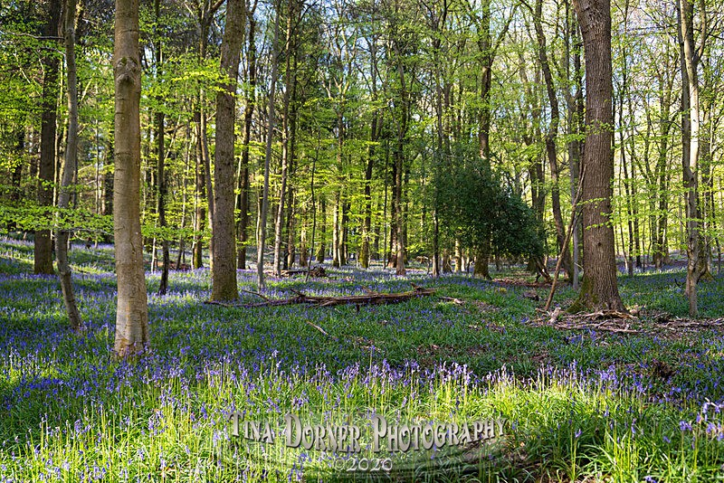 Bluebells at Bradley Hill - Spring & Summer in The Forest of Dean & Wye Valley and BLUEBELLS!