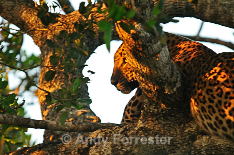 First Leopard of 2012 - Yala Sri Lanka