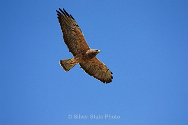 Swainson's Hawk - Nevada Birds