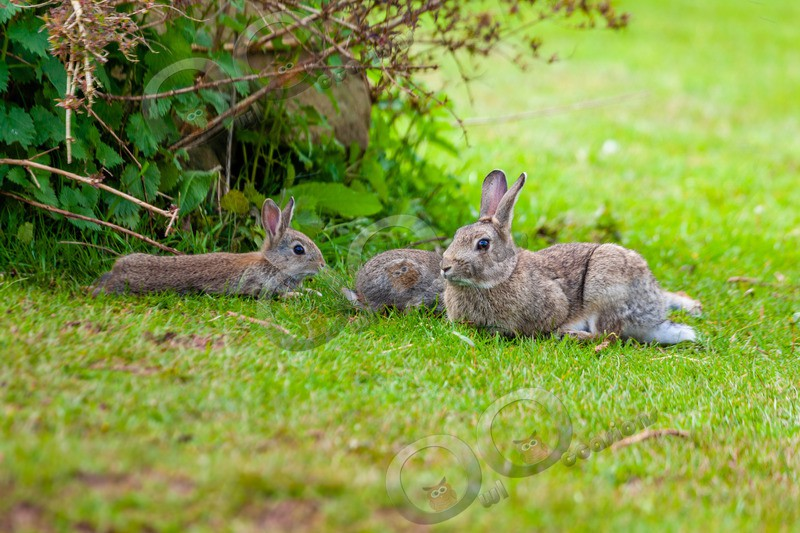 wild rabbit Oryctolagus cuniculus-123 - UK Wildlife