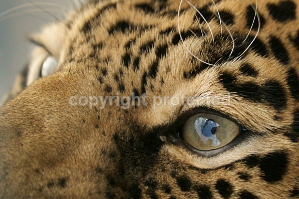 The eyes of a jaguar - Jags - Cat Survival Trust - Big and Small Wild Cats