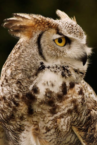 Canadian Great Horned Owl - Animals/ Wildlife