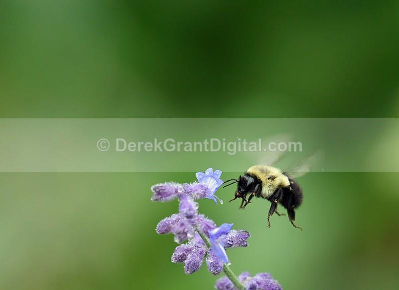 Bombus in flight - Bees, Beetles, Bugs