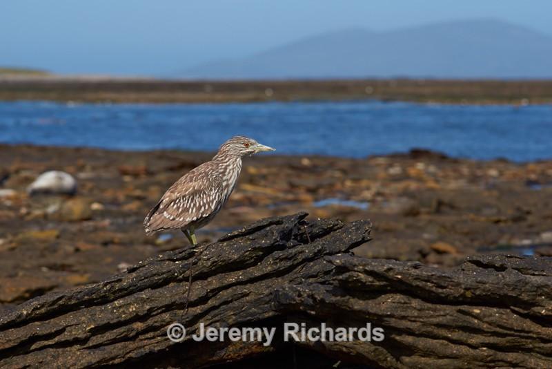 Juvenile Black-crowned Heron - Carcass Island