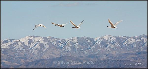 Tundra Swans in flight over the Stillwater Range - Nevada Birds