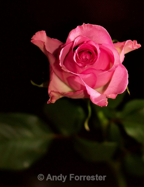 Pink Rose - Low Light Flowers