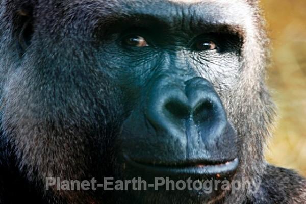 Silverback Male 2 - Primates