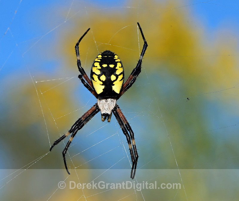 Argiope aurantia (f) - Spiders of Atlantic Canada