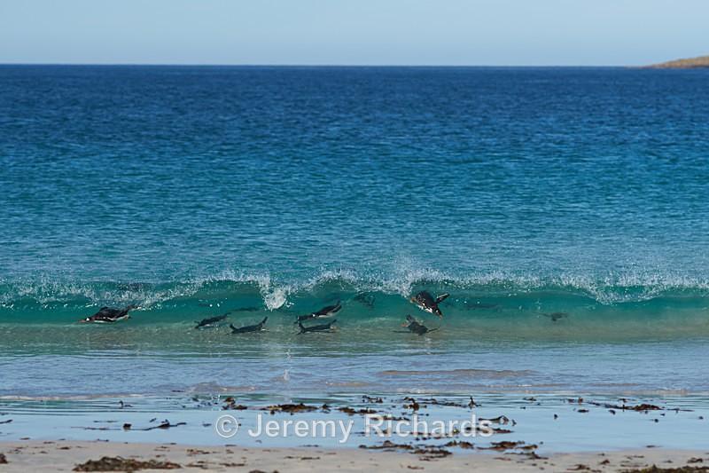 Gentoo Penguins Surfing - Bleaker Island