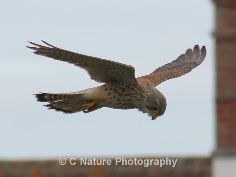 Kestrel On The Hunt - Birds