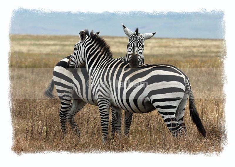 Zebra (2) - Tanzania - Mammals