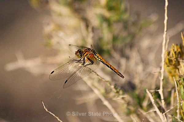 Dragonfly - 'Wildlife' (Big & Small)