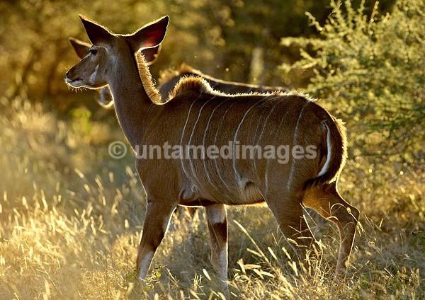 Lesser Kudu - Botswana